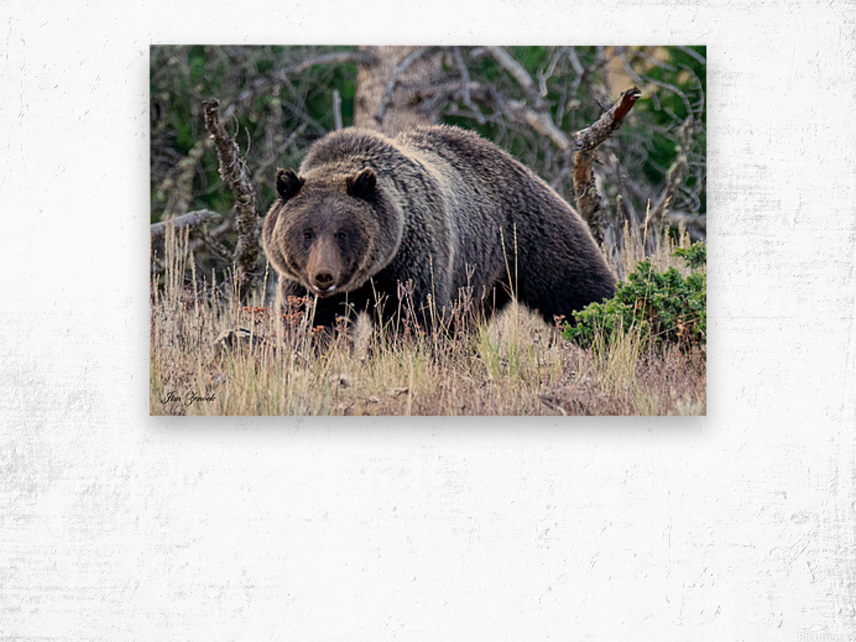 Grizzly Bear Wood print