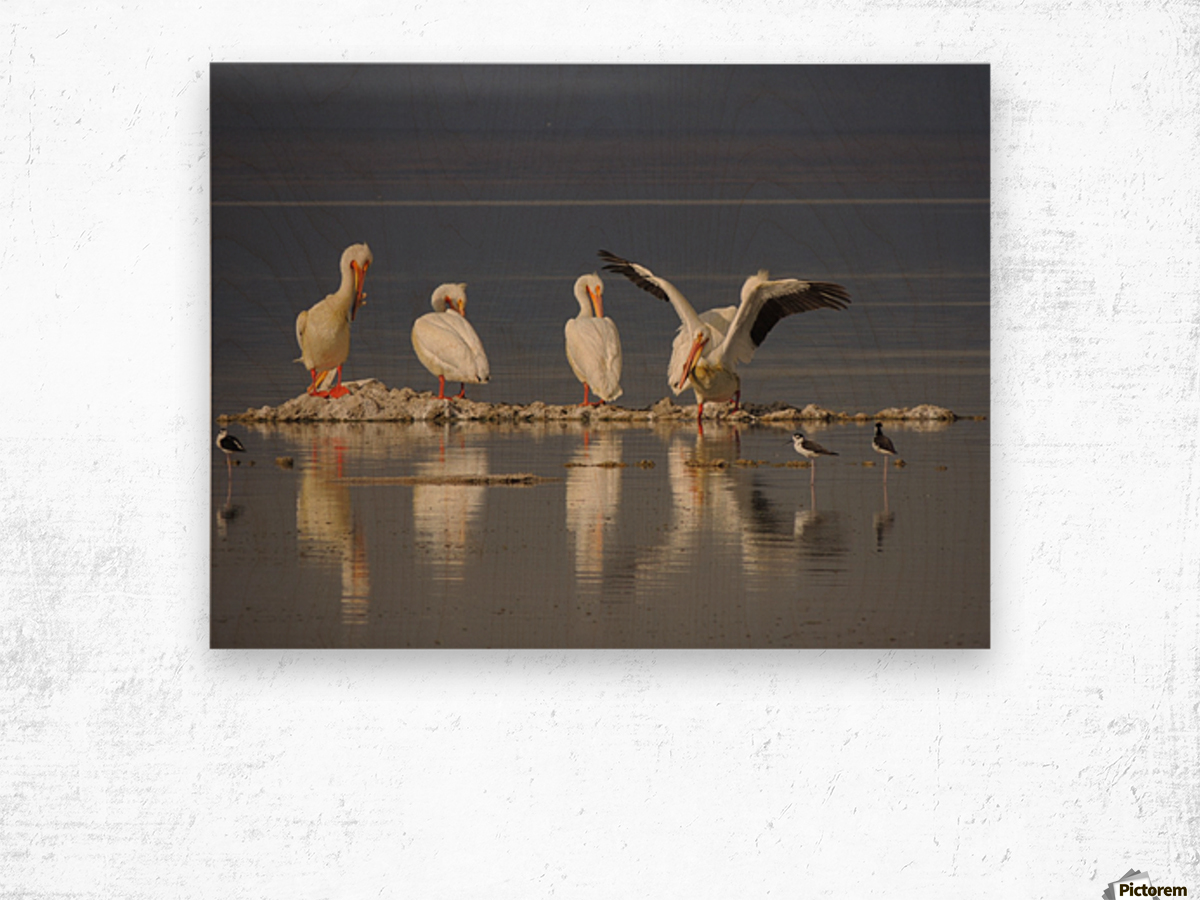 Pelican Reflections 2 Wood print
