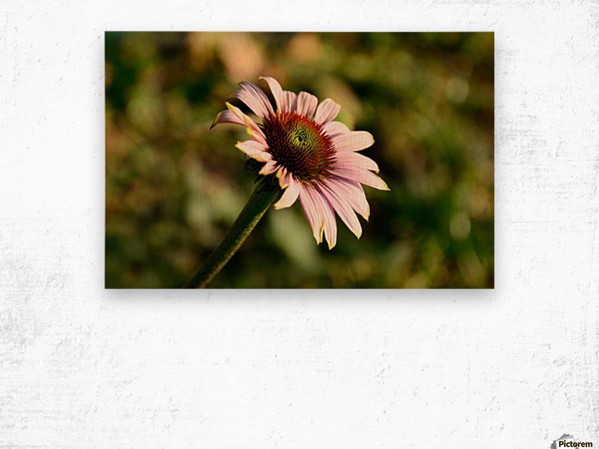 Autumn Echinacea Wood print