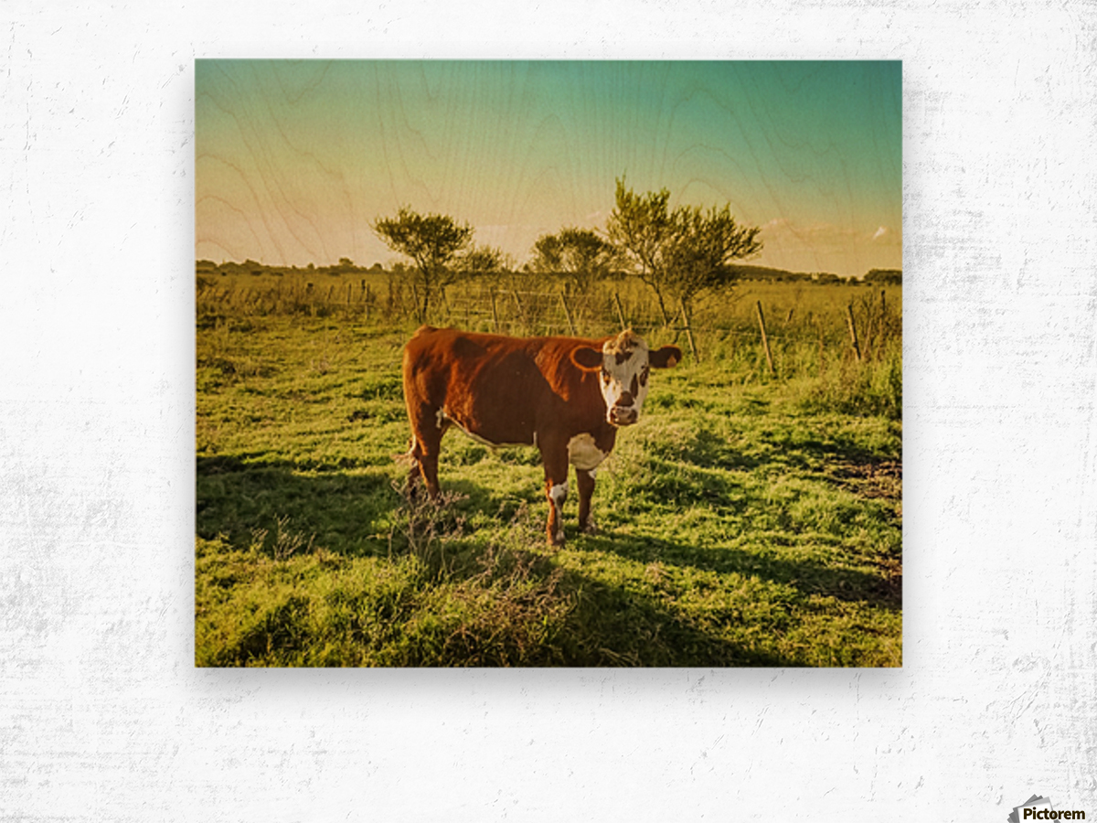 Cow in the Field Watching the Camera Wood print