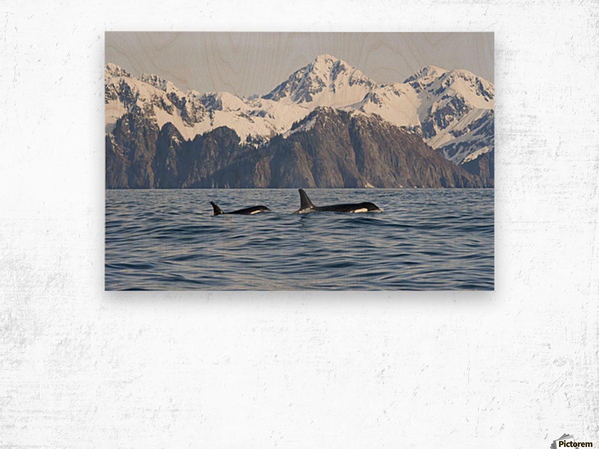 killer whale, or orcas, Orcinus orca, cow and calf swimming in Resurrection Bay, Kenai Fjords National Park, outside Seward, southcentral Alaska, spring Wood print