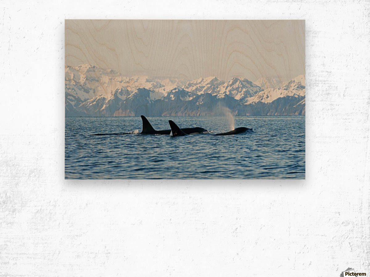 killer whale, or orcas, Orcinus orca, pod in traveling in Resurrection Bay, Kenai Fjords National Park, outside Seward, southcentral Alaska, spring Wood print