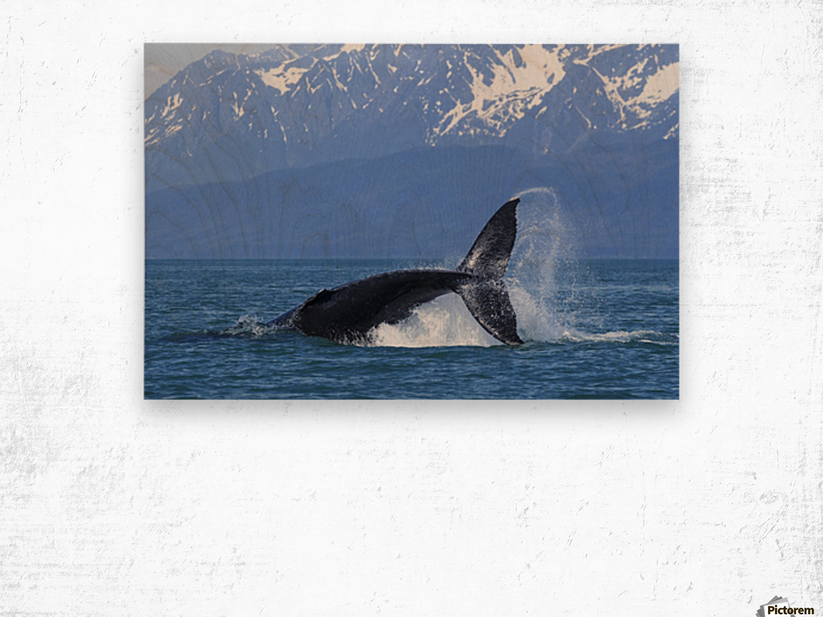 A Humpback Whale calf frolicks in Lynn Canal near Berners Bay, Inside Passage, Alaska Wood print