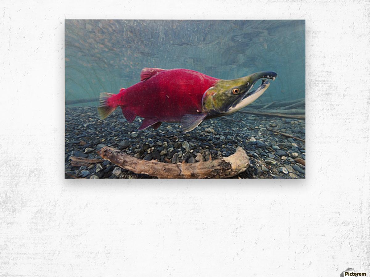 Underwater view of a male Sockeye Salmon in Power Creek near Cordova, Southcentral Alaska Wood print