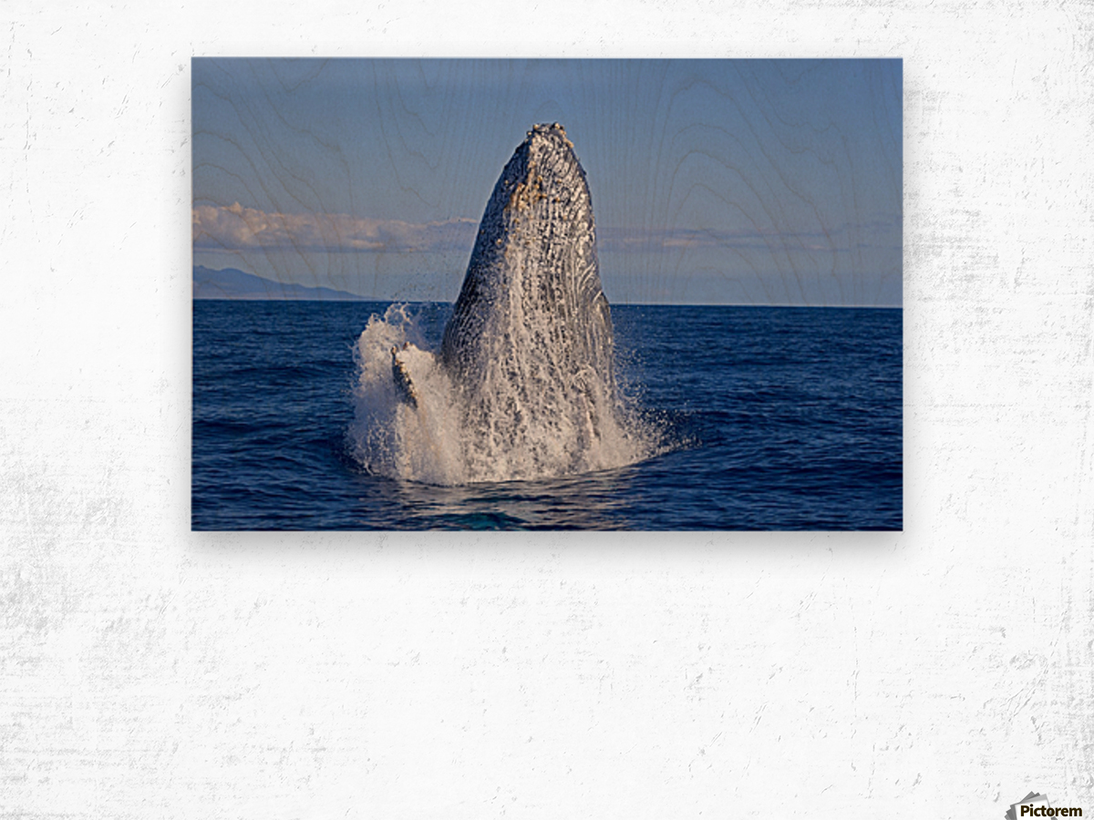 Breaching humpback whale (Megaptera novaeangliae); Maui, Hawaii, United States of America Wood print