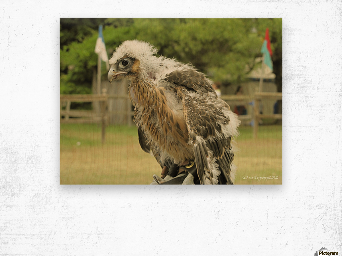 baby hawk1 Wood print