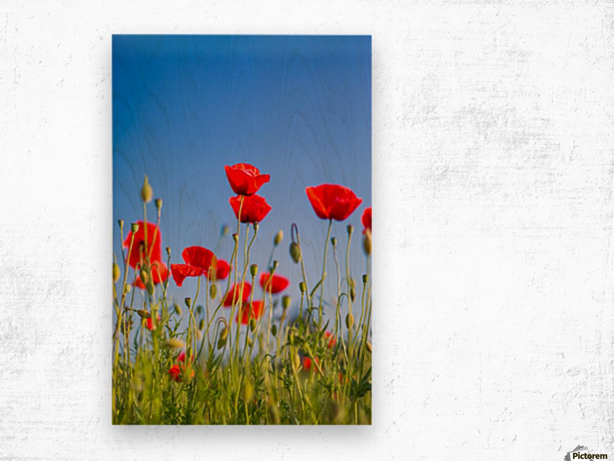 Beautiful Sunset Poppy Flowers Levente Bodo Canvas