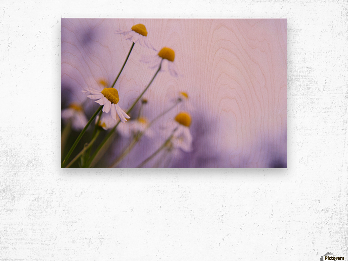 Chamomile in spring Wood print