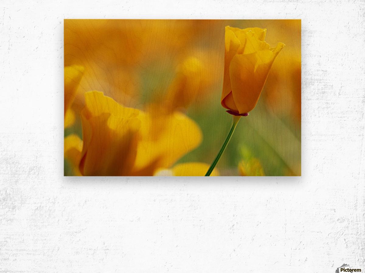 Yellow Poppy Wood print