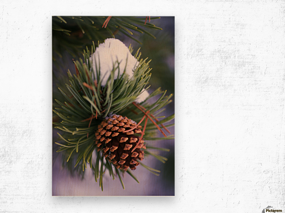 Early Snow On Pine Tree Branch With Pinecone Wood print