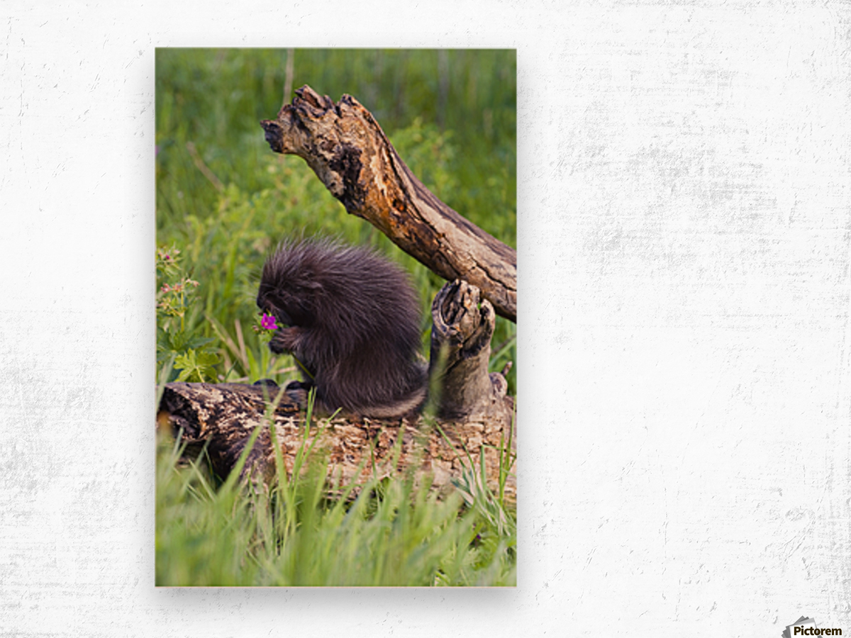 Porcupine Baby Eating Flower Wood print
