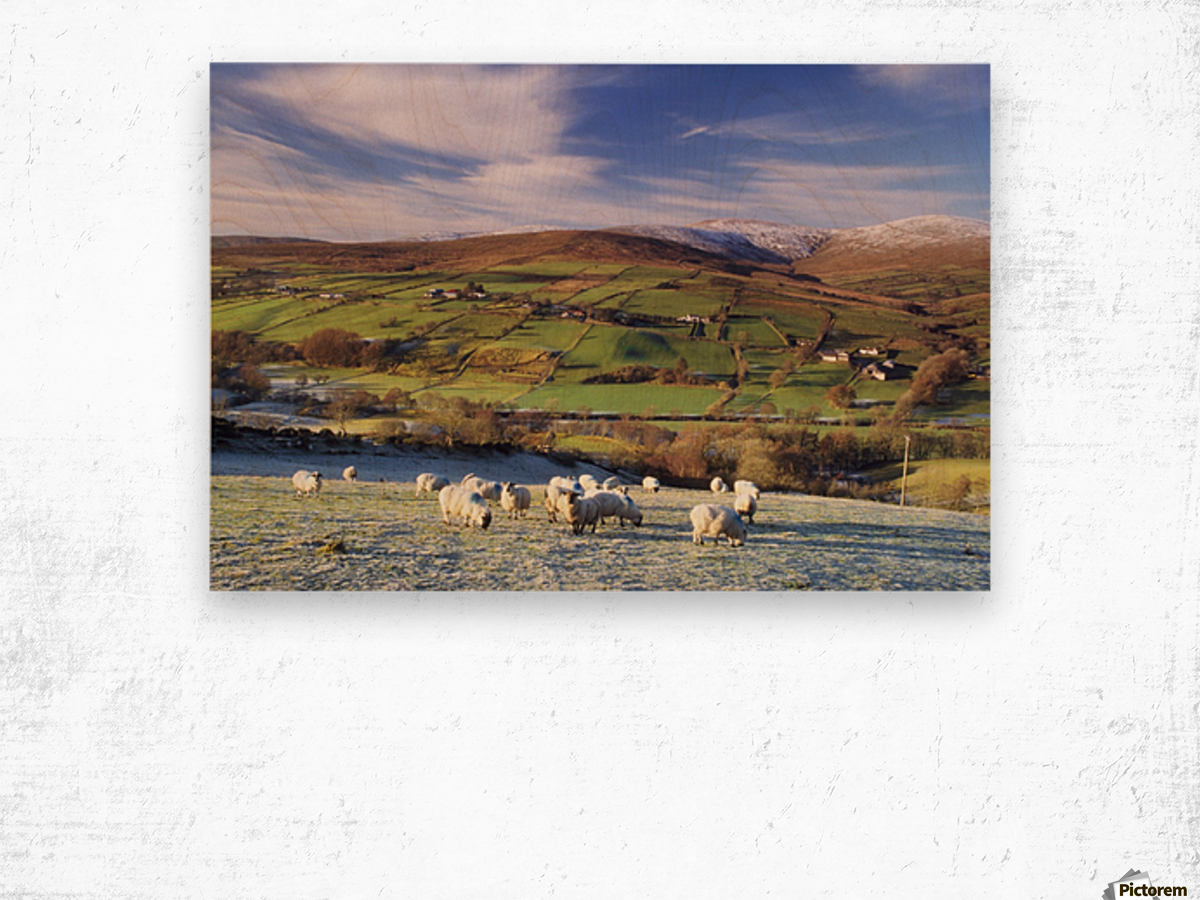 Sperrin Mountains, County Tyrone, Ireland, Sheep Wood print