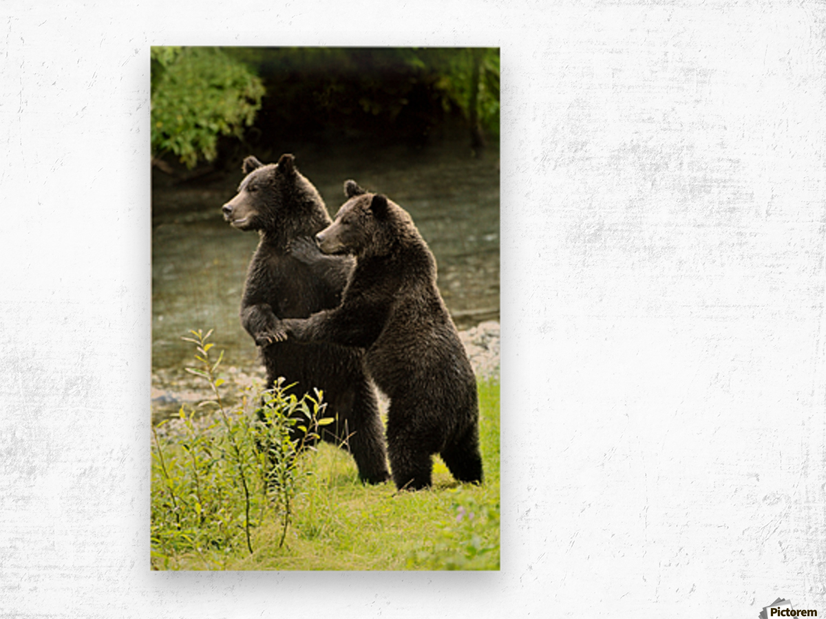Two Grizzly Bears Wood print
