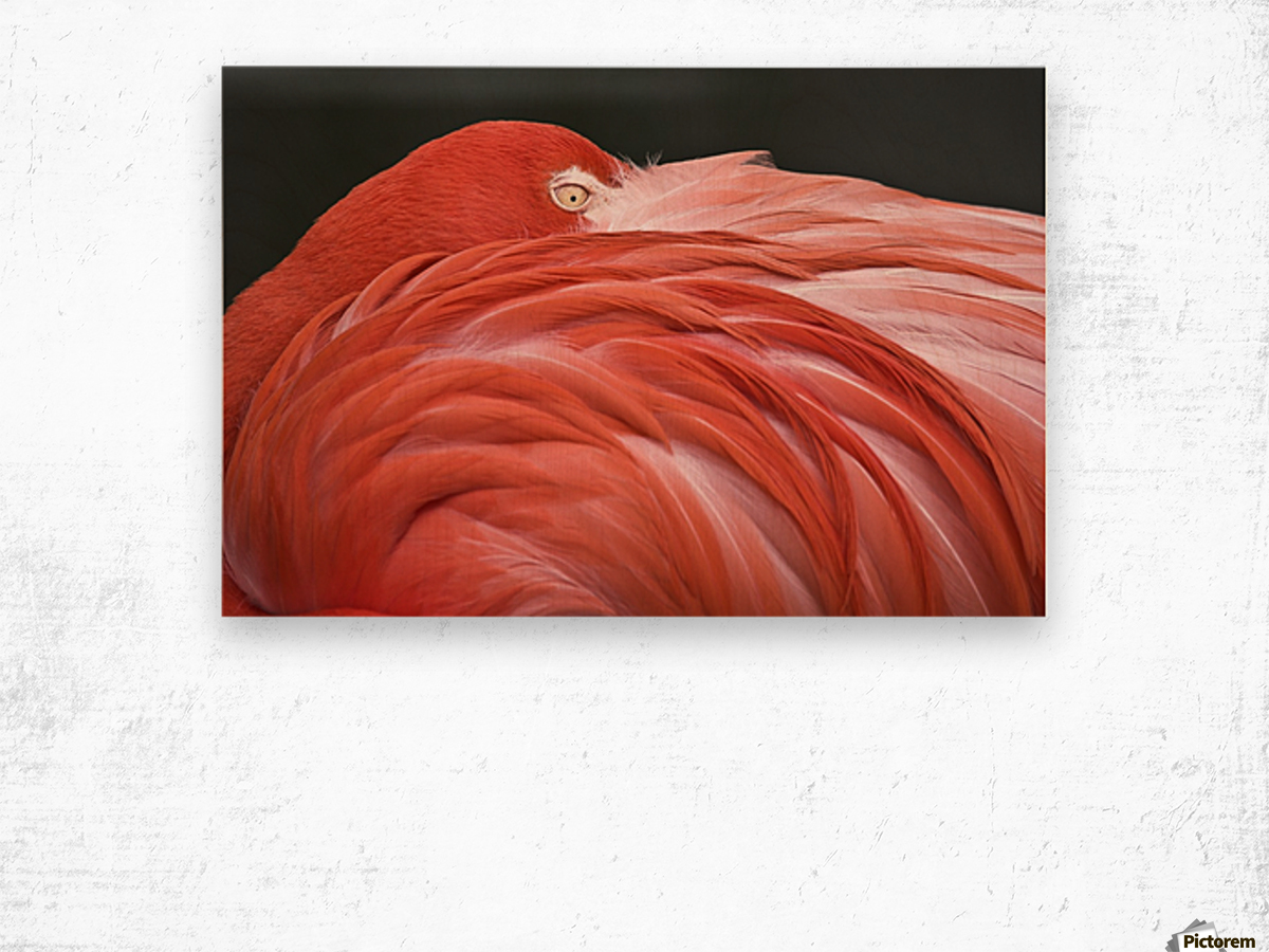 Close Up Of A Flamingo Resting Its Head On Its Back Wood print