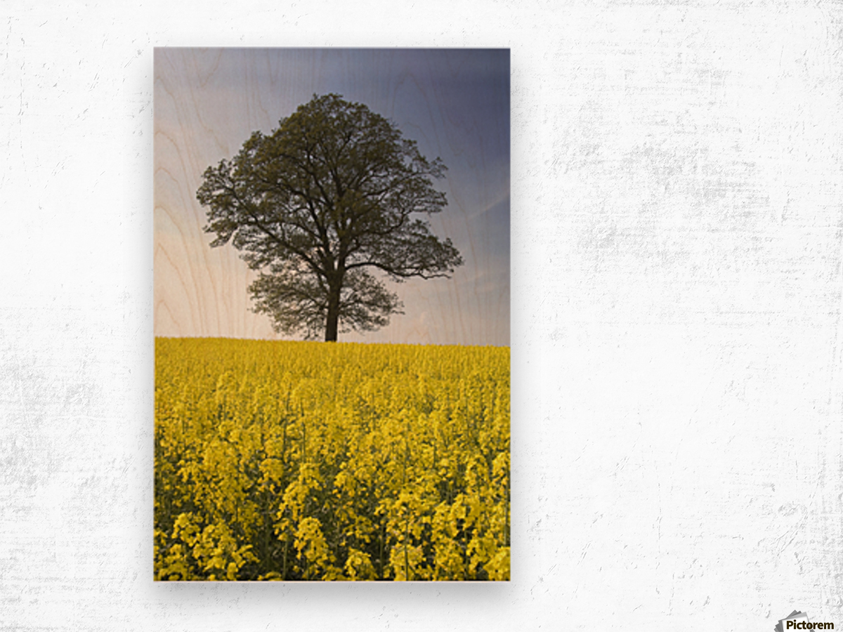 Tree In A Rapeseed Field, Yorkshire, England Wood print