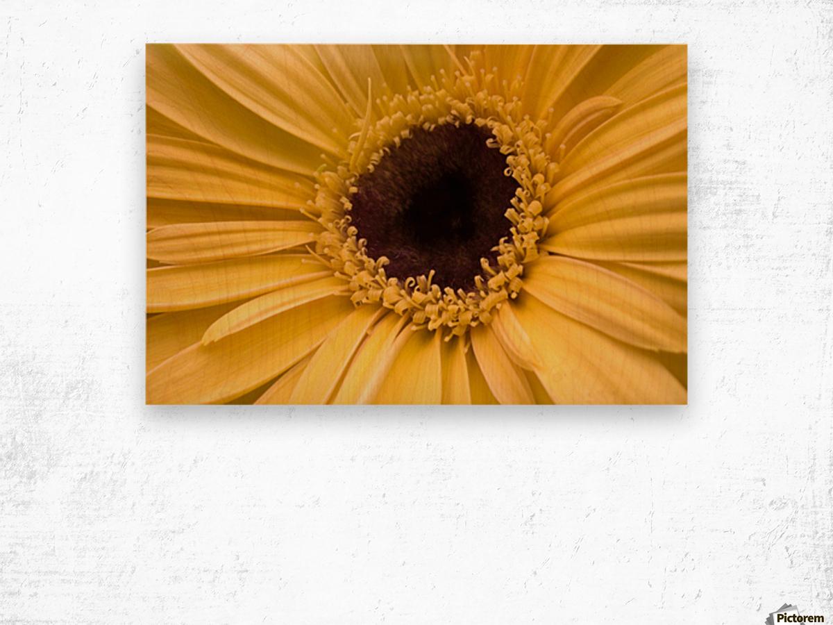 Close Up, Gerbera Daisy Wood print