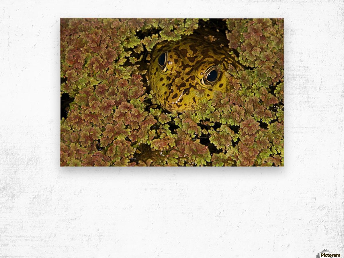 American Bullfrog (Rana Catesbeiana), California, Usa ; Bullfrog Hiding In Duckweed Wood print