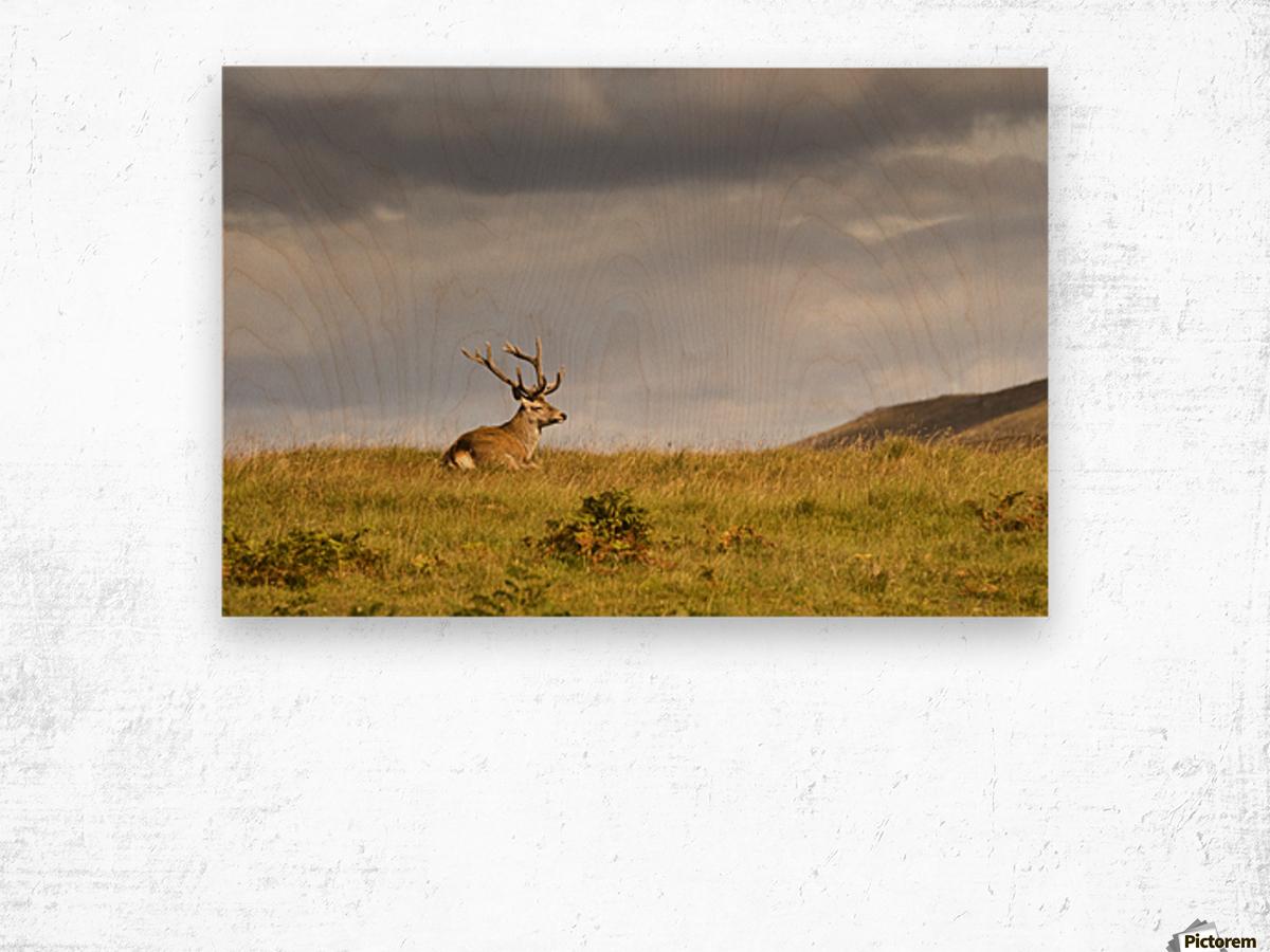 Island Of Islay, Scotland; Buck Resting On A Hill Wood print