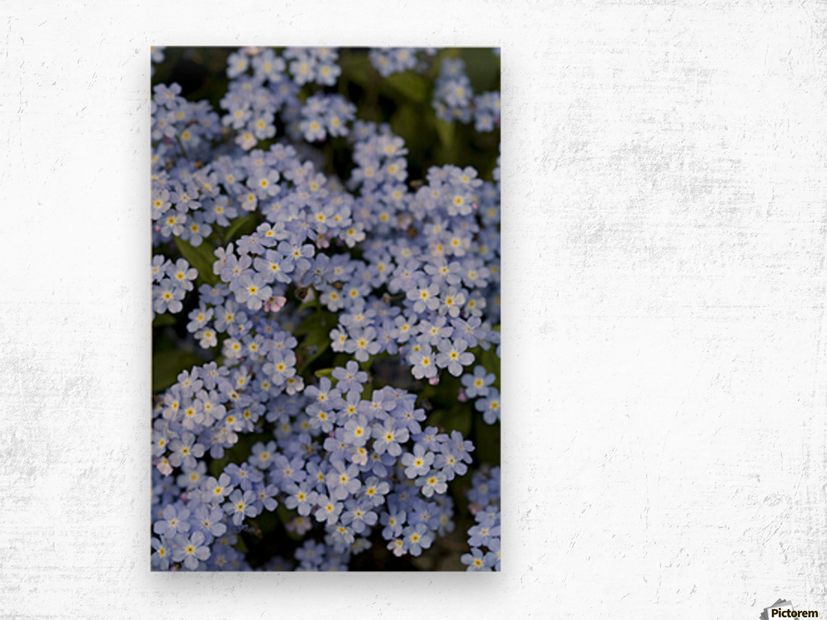 Victoria, British Columbia, Canada; Blooming Blue Flowers Wood print