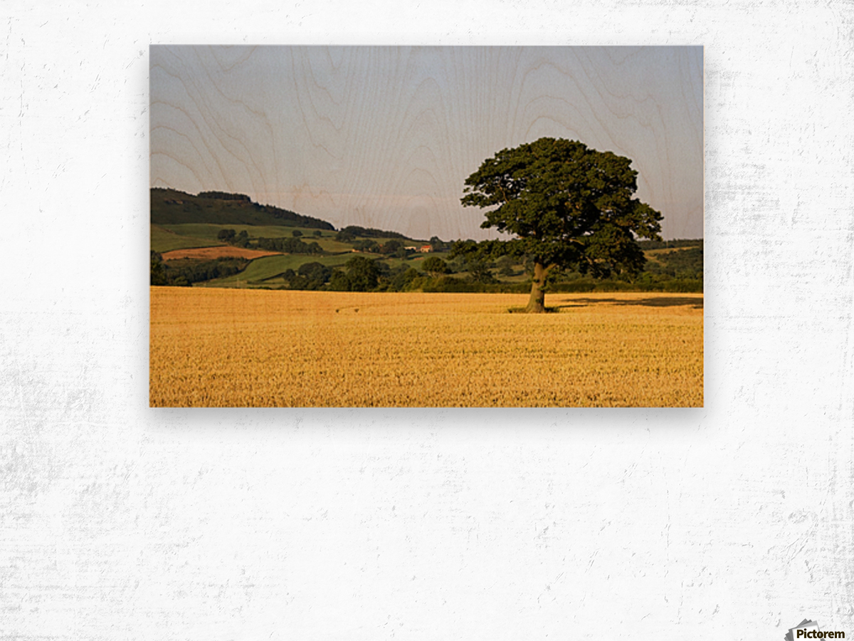 Tree In A Golden Field Of Grain, North Yorkshire, England Wood print