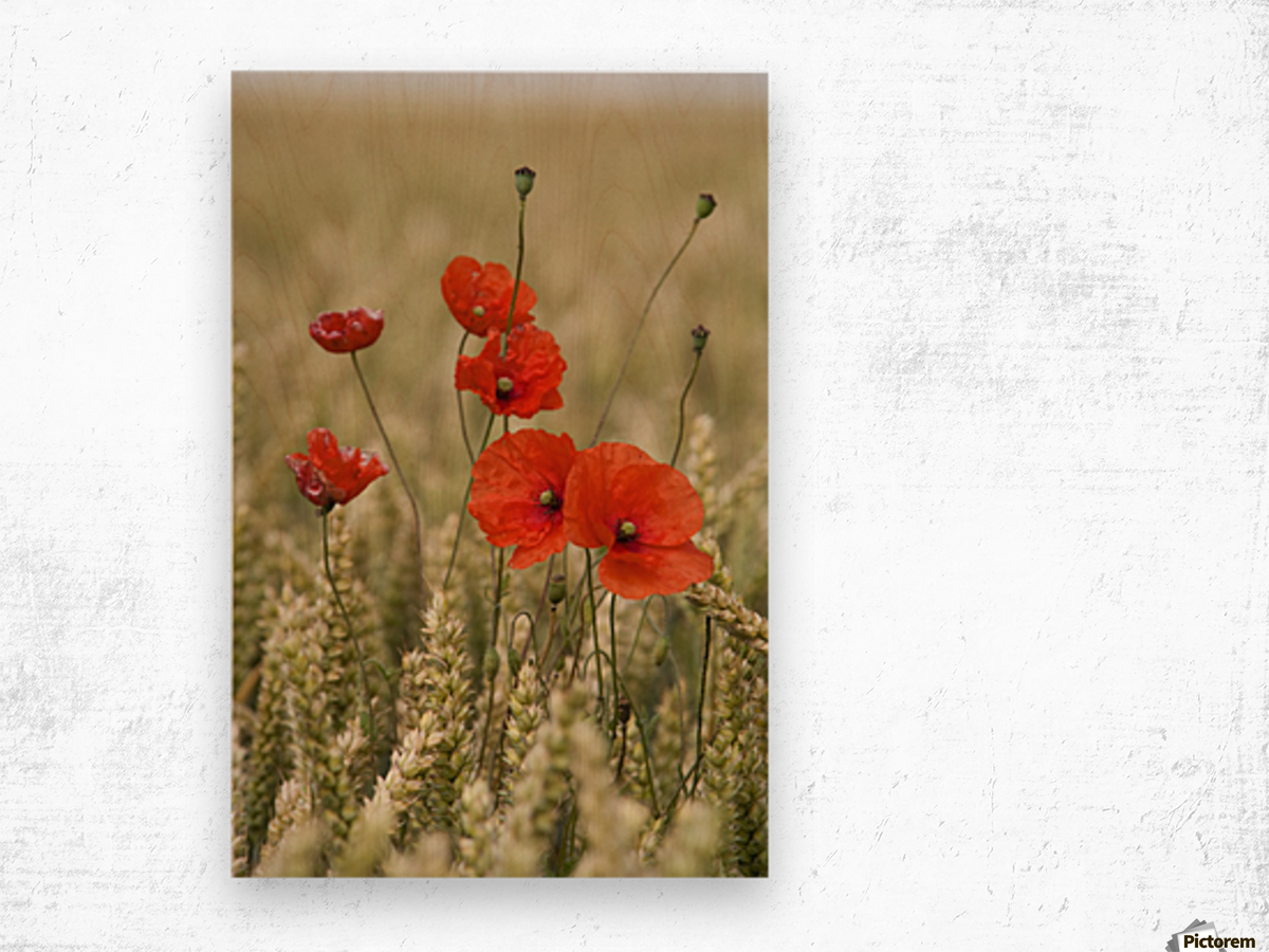 Wildflowers; Poppies In A Grain Field Wood print