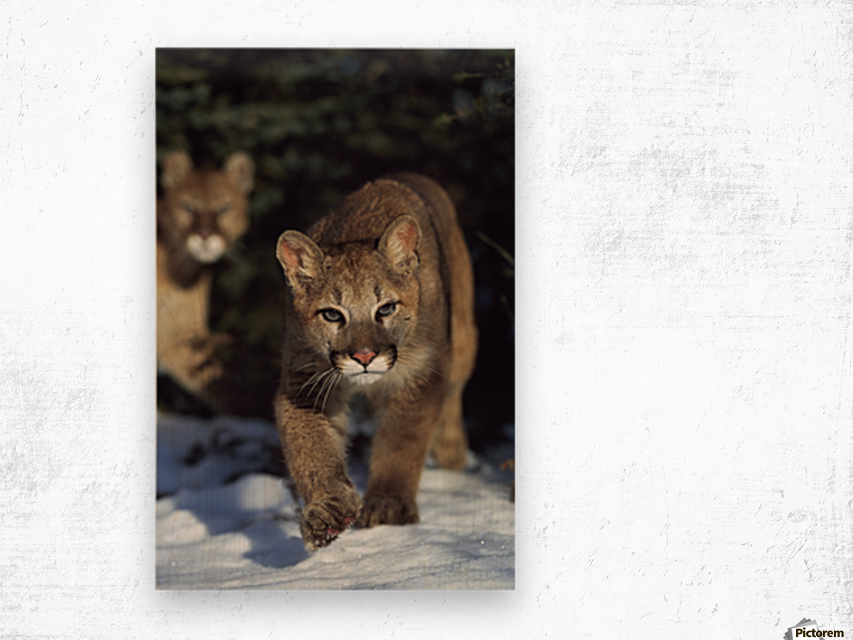 Mountain lion cub (Felis concolor) walking on snow toward camera, mother in background; Montana, Usa Wood print