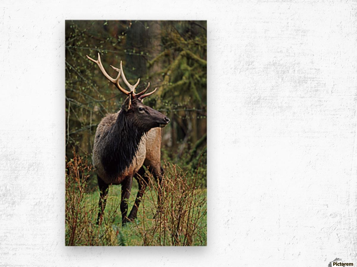 Roosevelt Elk (Cervus Canadensis Roosevelti); Olympic National Park, Washington, Usa Wood print