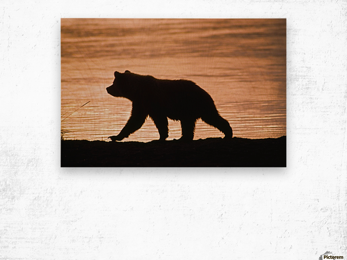 Young Grizzly Bear (Ursus Arctos) Walks Along Edge Of Lake At Sunset Wood print