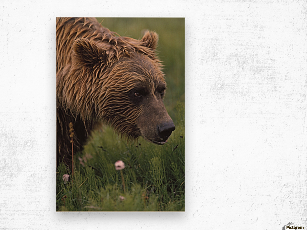 Grizzly Bear Wet From Rain Wood print
