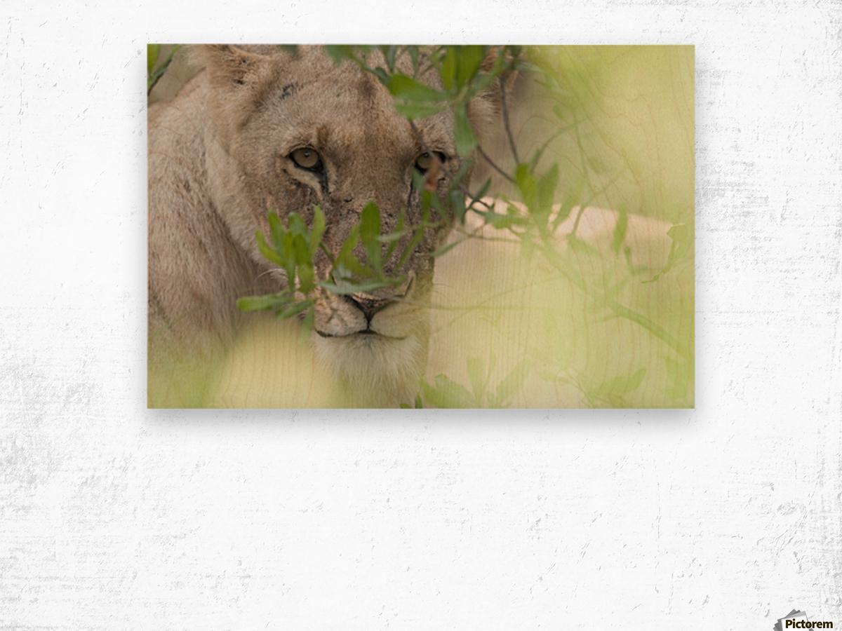 Lioness, Kenya, Africa Wood print