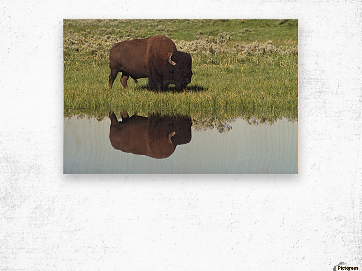 Bison (Bison Bison) On Grassy Meadow With Reflection In Pool Wood print