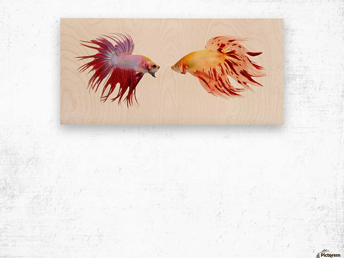 Two Colorful Fish With Long Fins Wood print