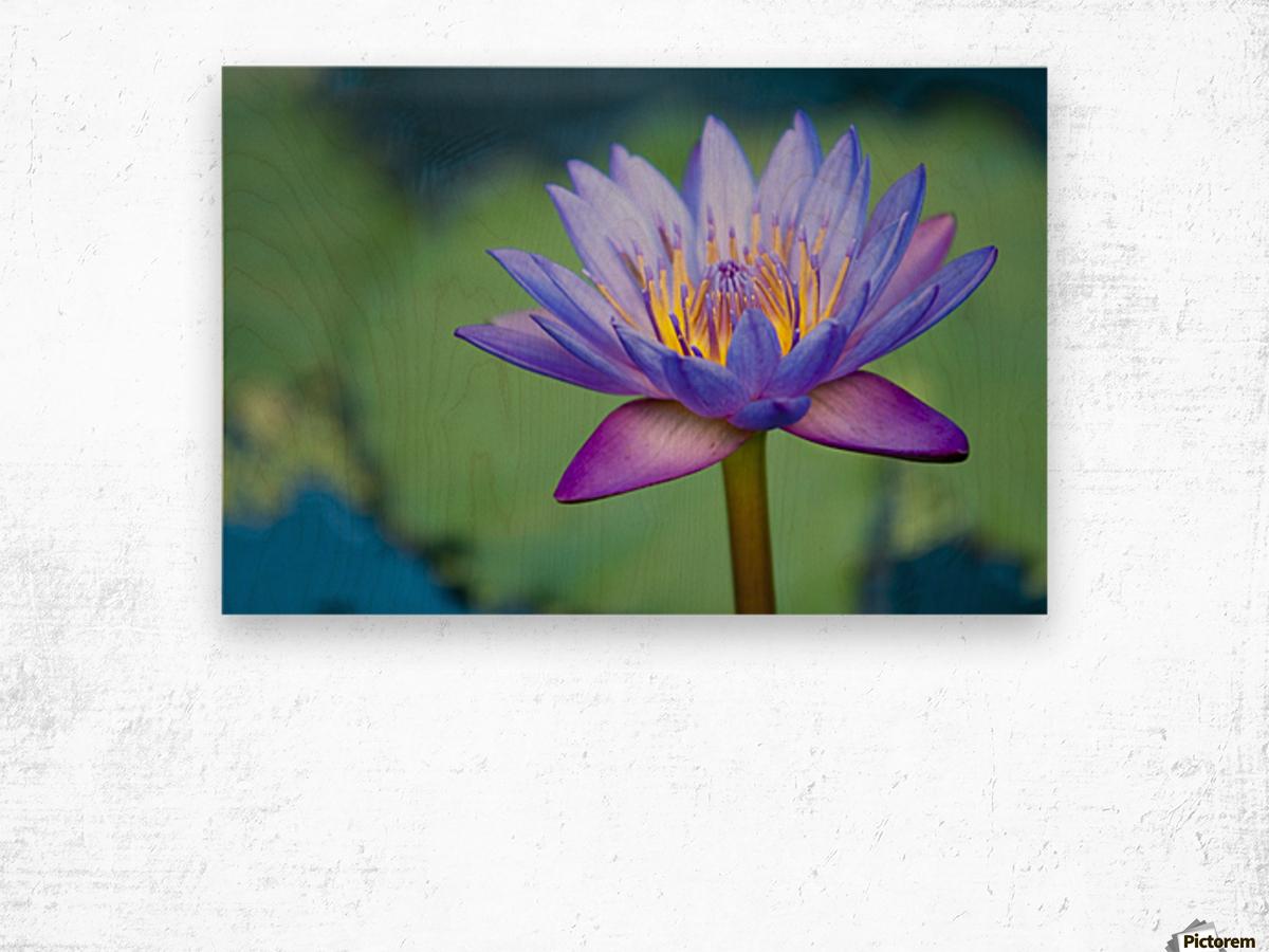 A lotus flower nelumbo nucifera chiang mai thailand a lotus flower nelumbo nucifera chiang mai thailand wood print izmirmasajfo