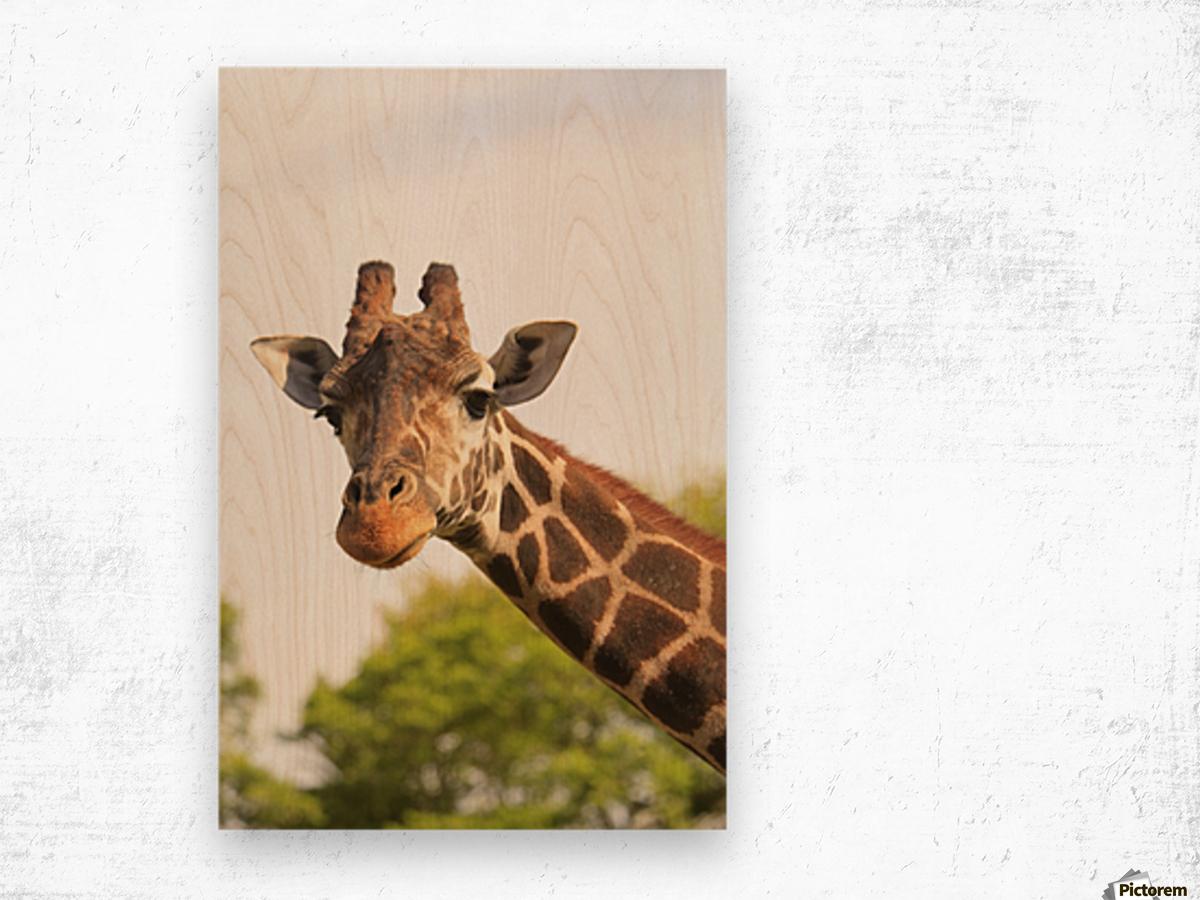 Buenos Aires, Argentina; Giraffe (Giraffa Camelopardalis) In Palermo Zoological Gardens Wood print