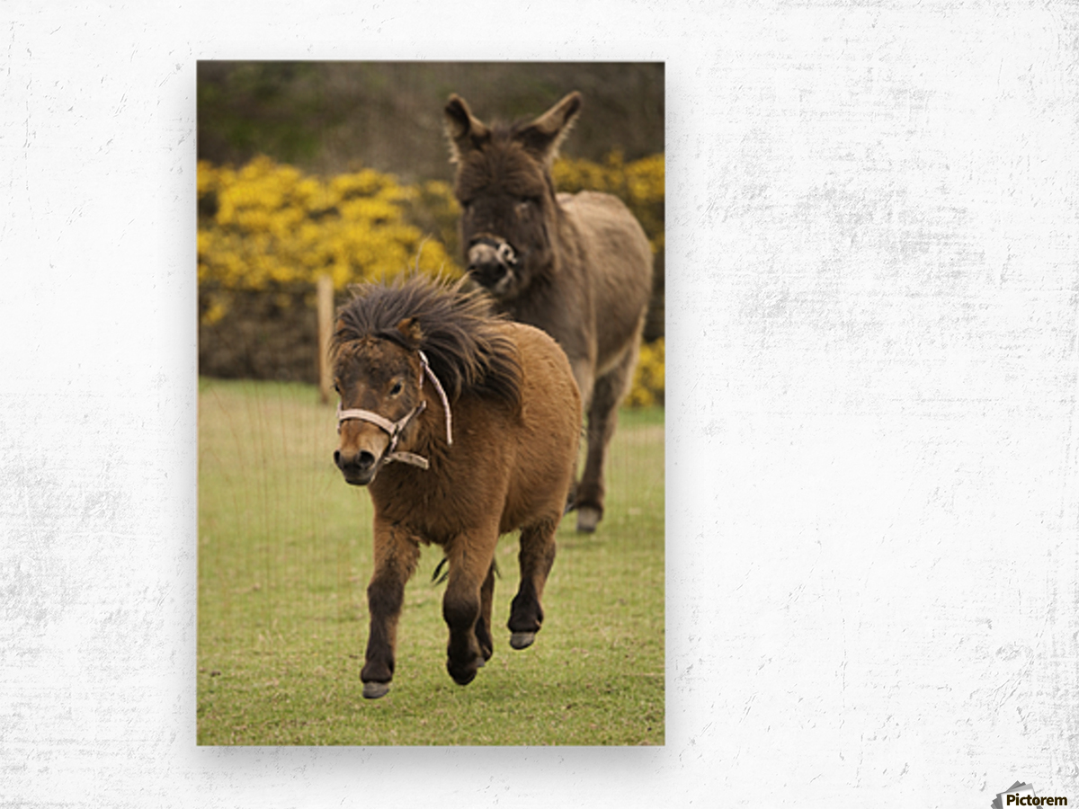 Northumberland, England; Two Ponies Running In A Field Wood print