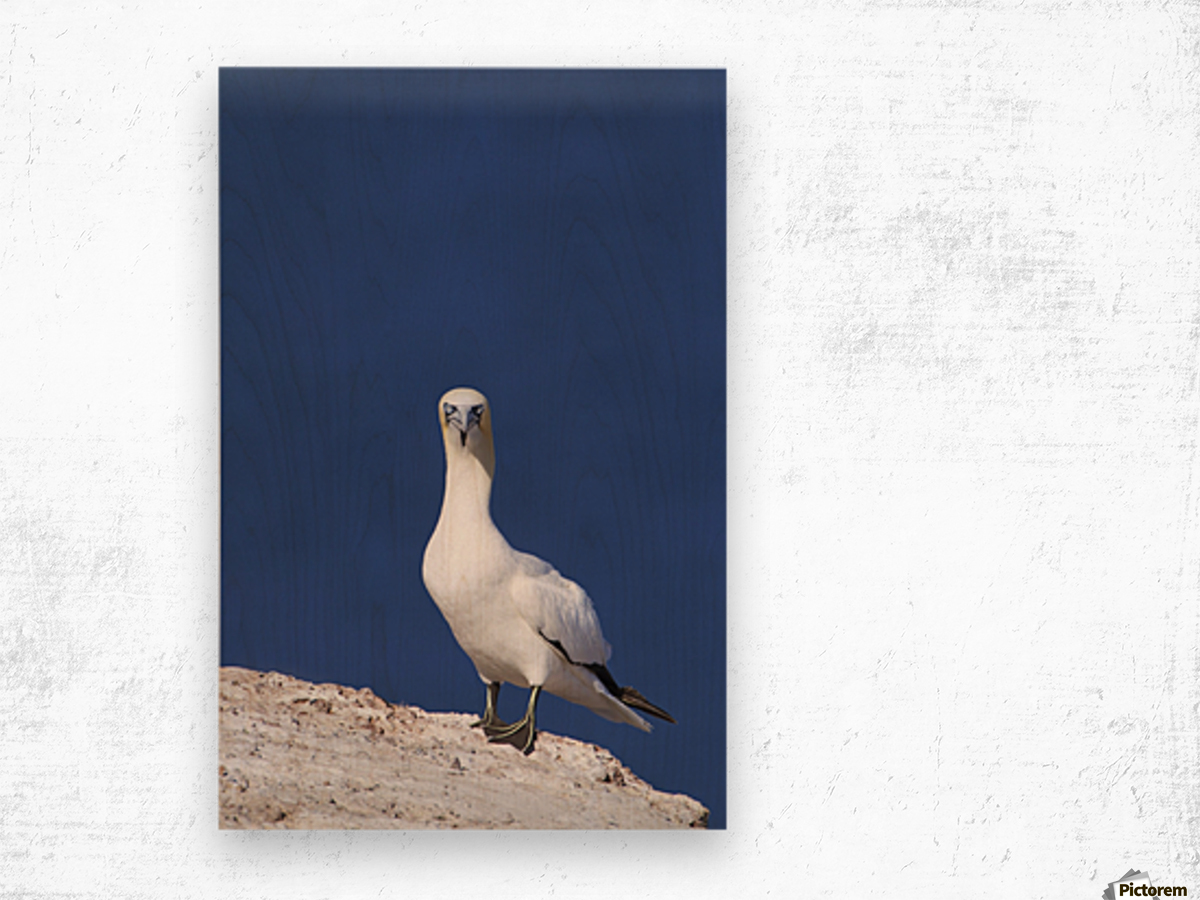 Gannet With An Attitude Staring At The Camera; Perce, Quebec, Canada Wood print