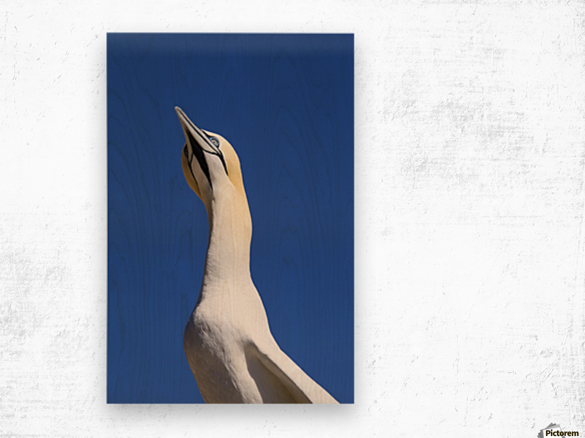 A Single Gannet Searches The Sky For Her Mate On Bonaventure Island; Perce, Quebec, Canada Wood print
