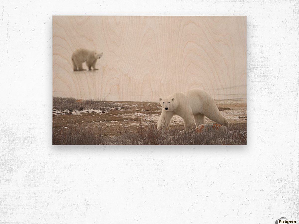 Polar Bears (Ursus Maritimus) Staring Ahead As They Walk Across The Frozen Tundra; Churchill, Manitoba, Canada Wood print