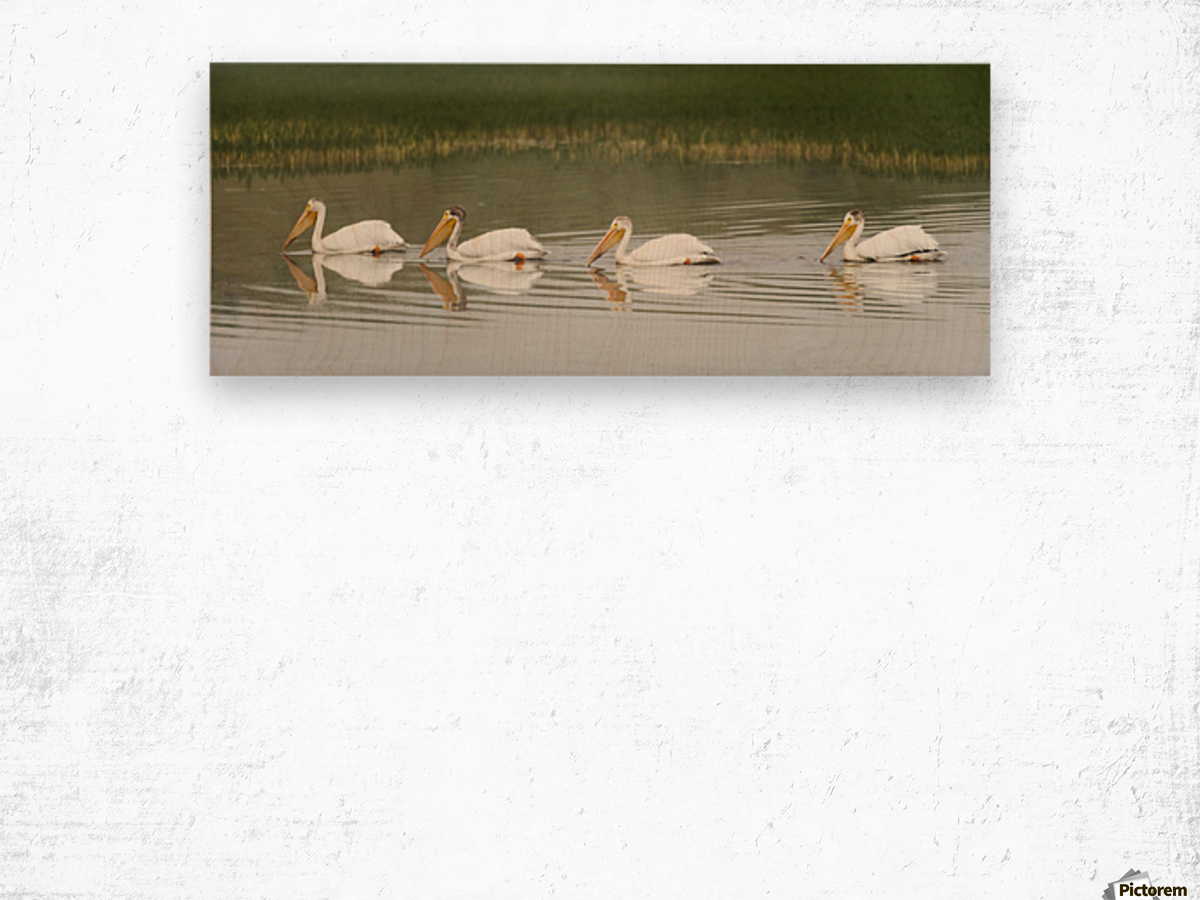 American White Pelicans Swim In A Line On The Yellowstone River; Wyoming, Usa Wood print