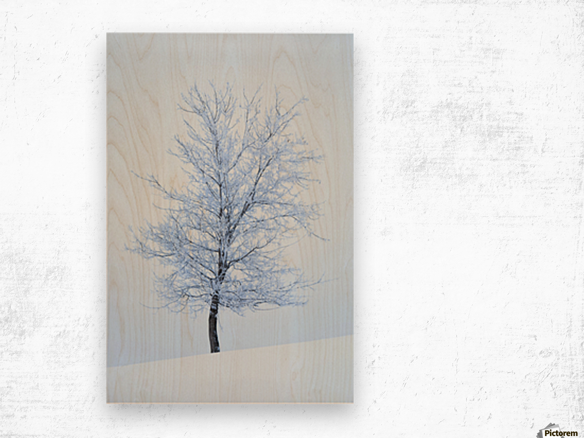Frost And Snow Cover An Oak Tree; Calgary, Alberta, Canada Wood print