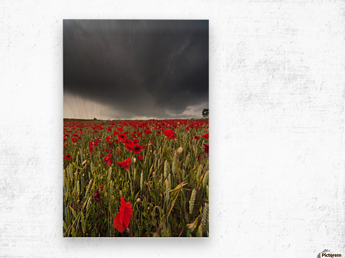 A Field Of Red Poppies Under A Dark Stormy Sky; Northumberland, England Wood print