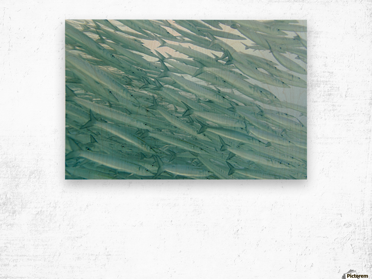 A School Of Barracudas Swimming Underwater; Galapagos, Equador Wood print
