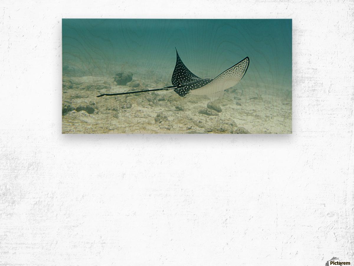 A Spotted Eagle Ray (Aetobatus Narinari)Under The Water; Galapagos, Equador Wood print