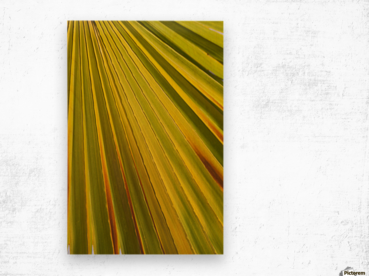 Close Up Of Palm Leaf Backlit And Glowing; Palm Springs, California ...