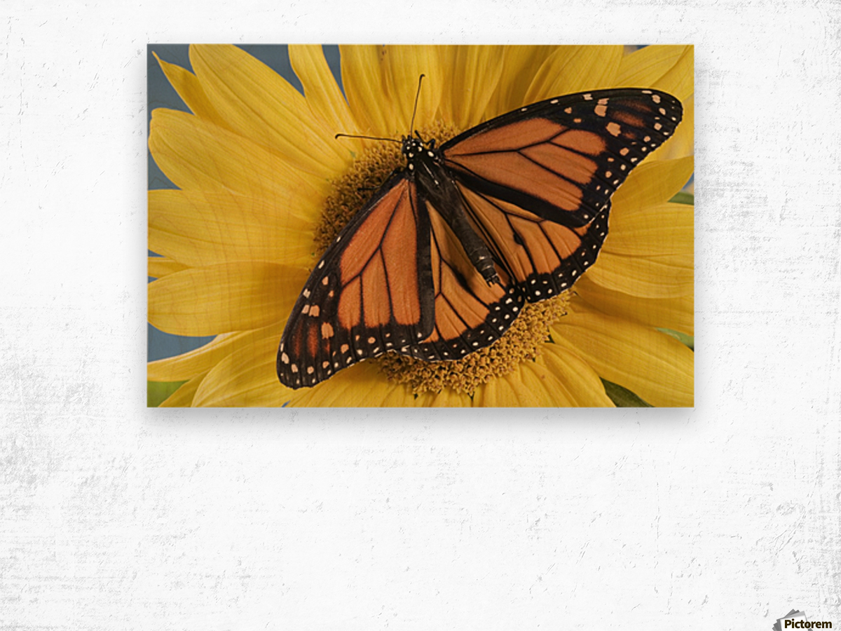 Monarch Butterfly On Sunflower. Wood print