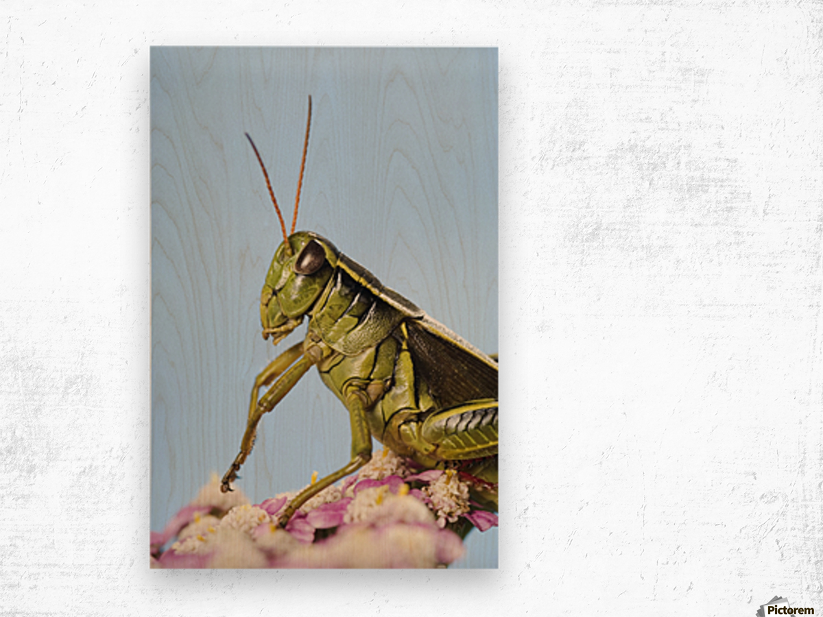 Grasshopper Close-Up. Wood print