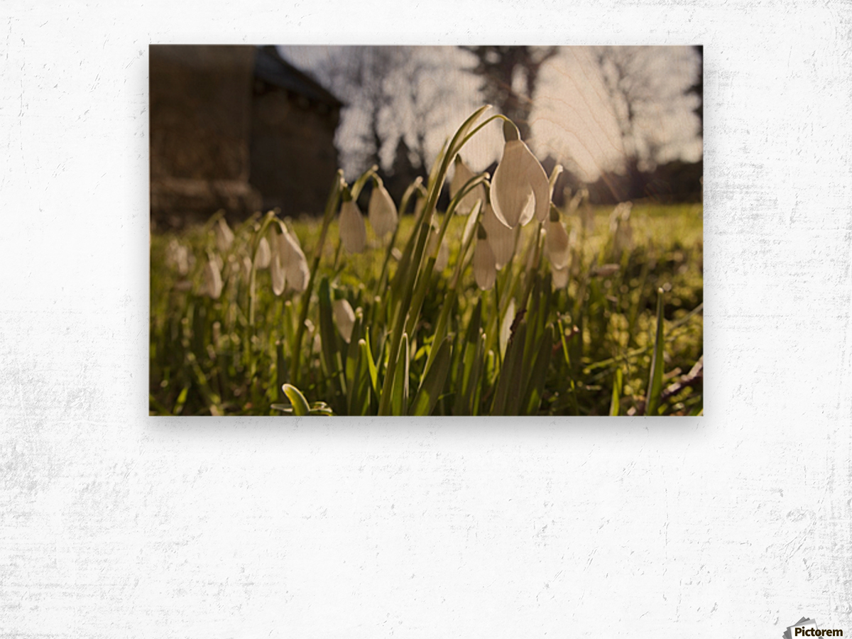 Snowdrop Flowers In The Sunlight; Northumberland, England Wood print