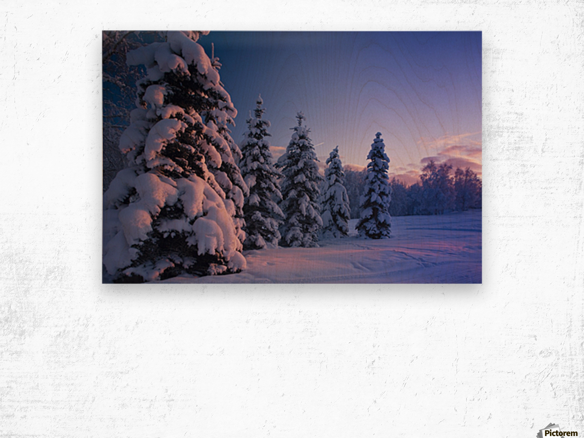 Snow Covered Spruce Trees At Sunset With Pink Alpenglow During Winter, Russian Jack Park, Anchorage, Southcentral Alaska, Usa. Wood print