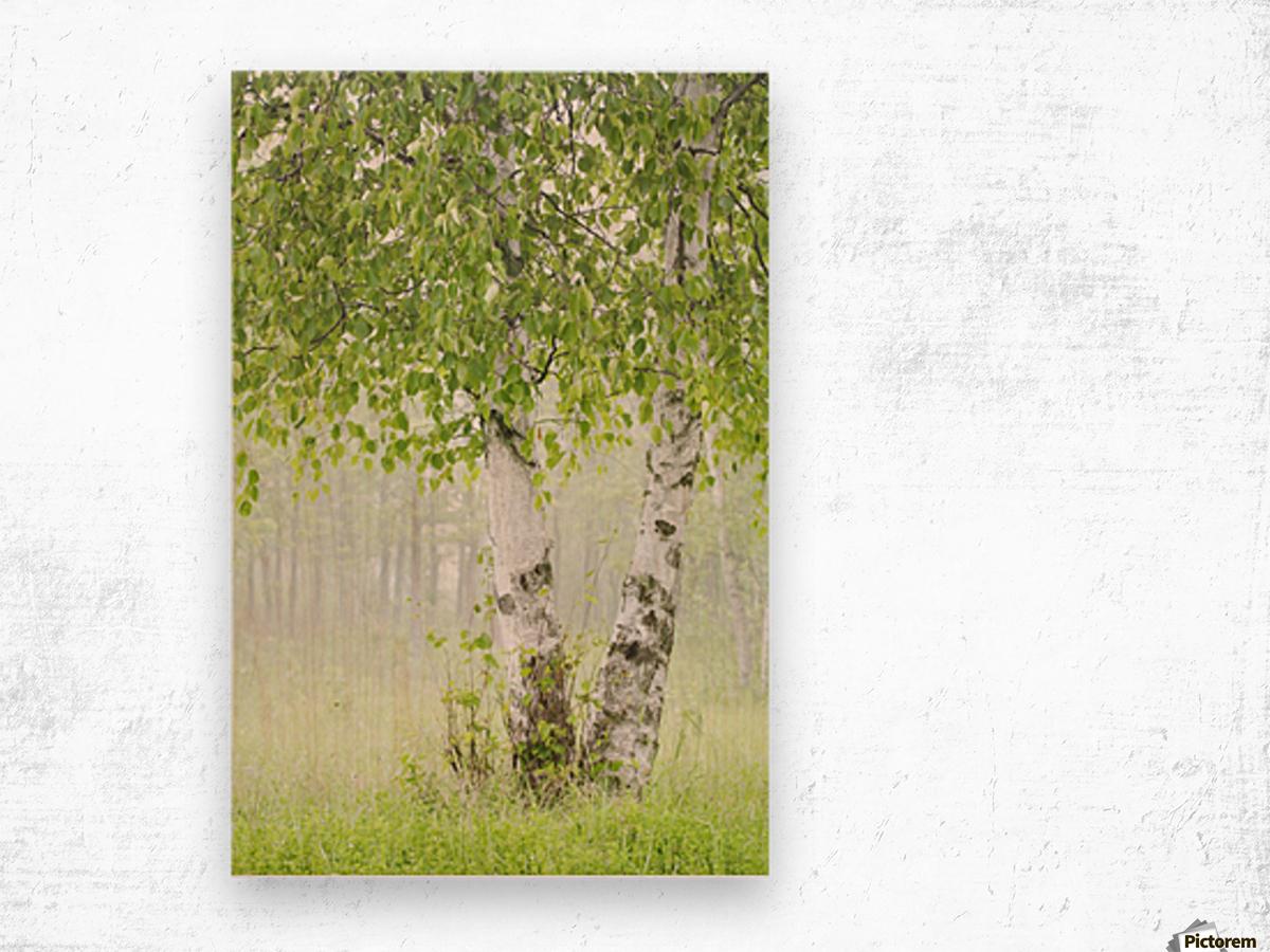 Birch trees in fog;Thunder bay ontario canada Wood print
