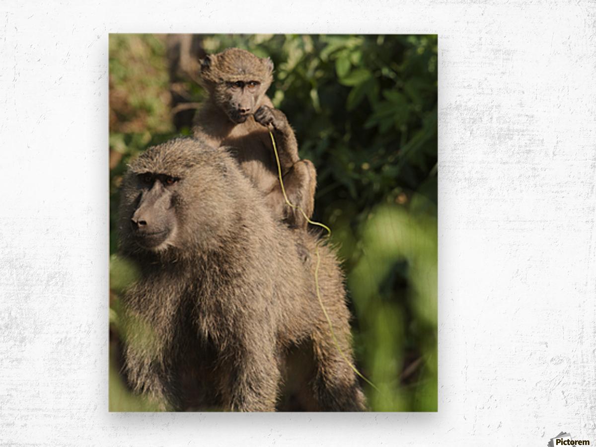 A monkey and it's baby sitting on her back in the maasai mara national reserve;Maasai mara kenya Wood print